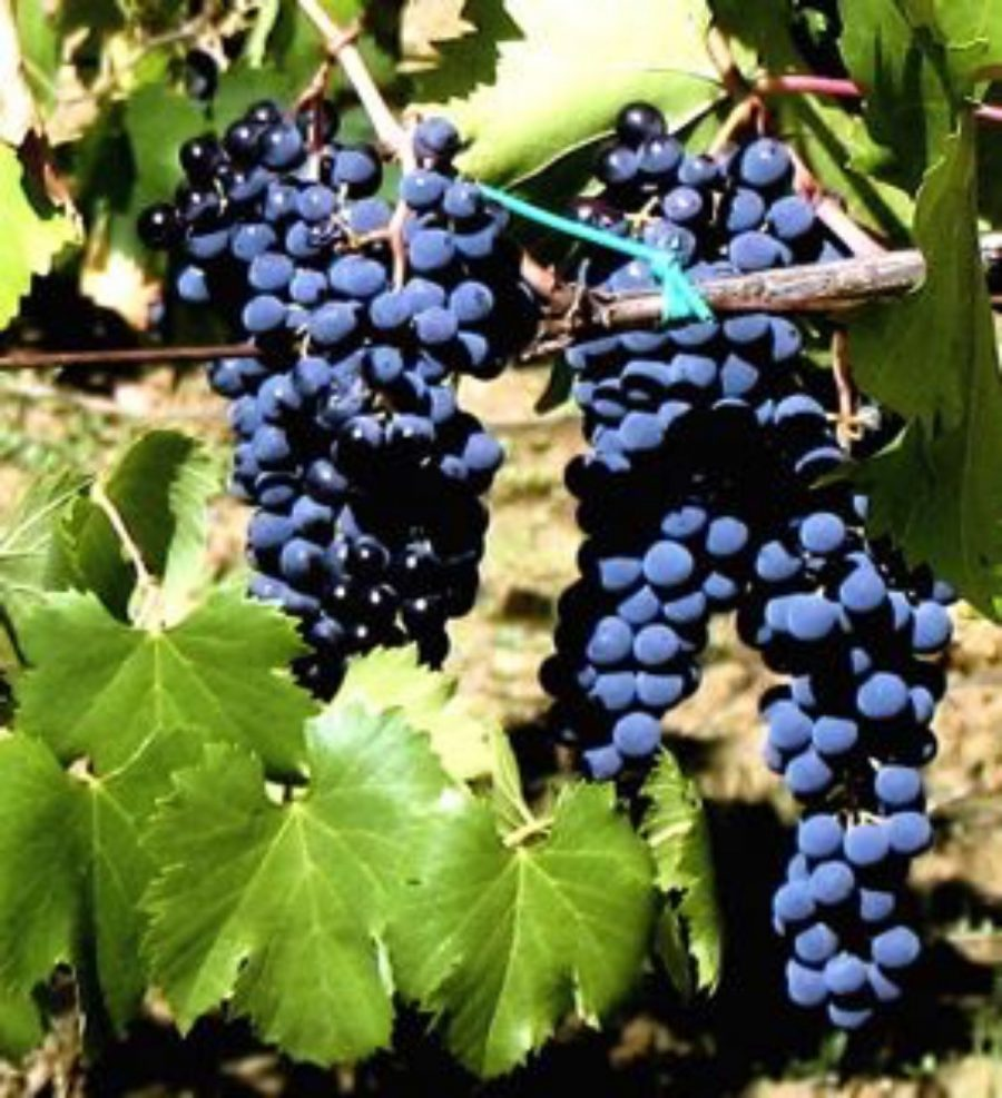 Red Tuscan grapes